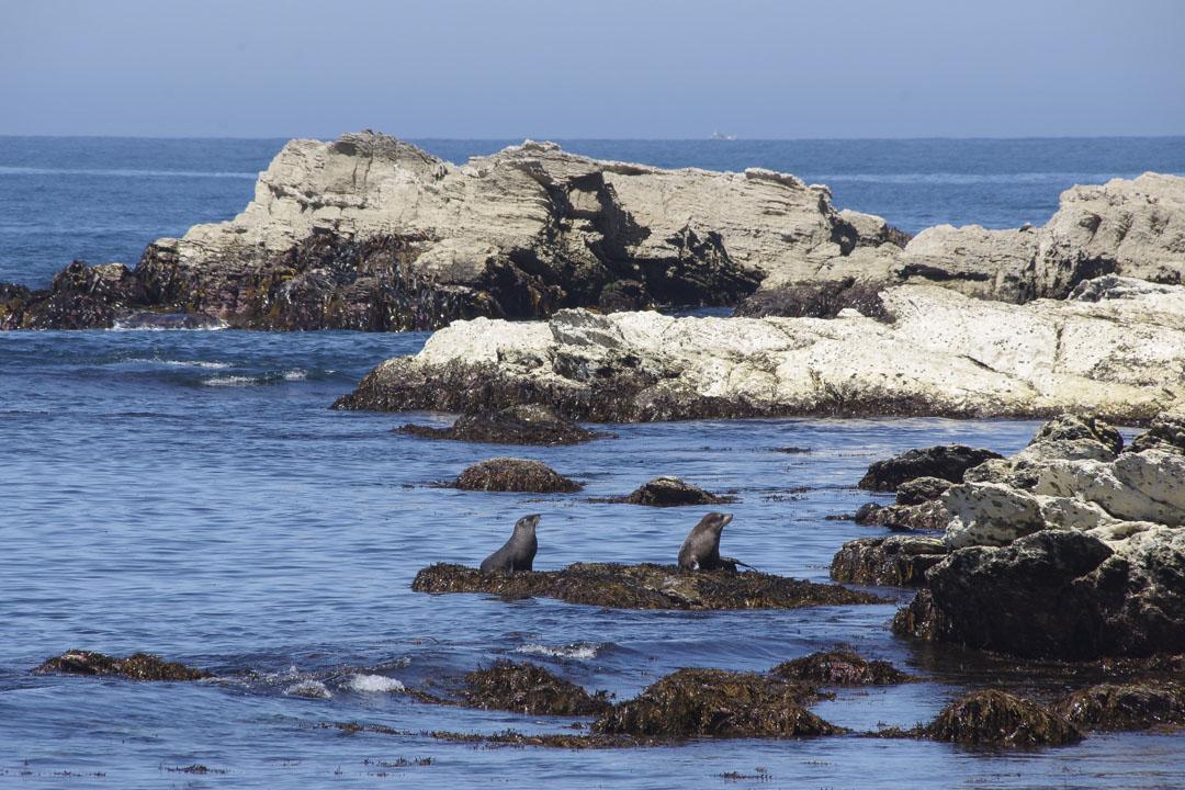 colonie d'otaries sur la péninsule de Kaikoura