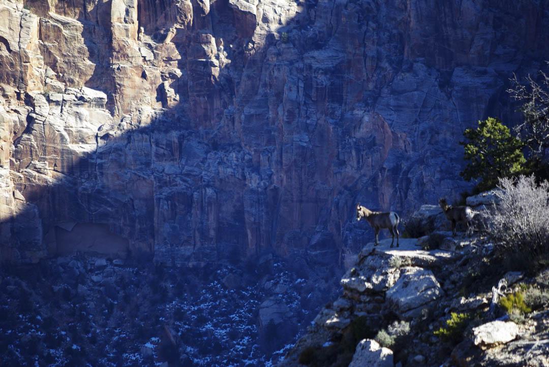 bouquetins au Grand Canyon