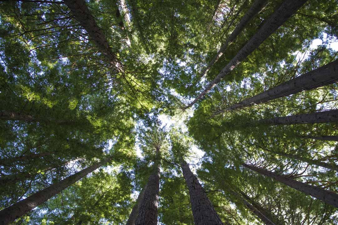 les arbres géants d'Hamurana Springs