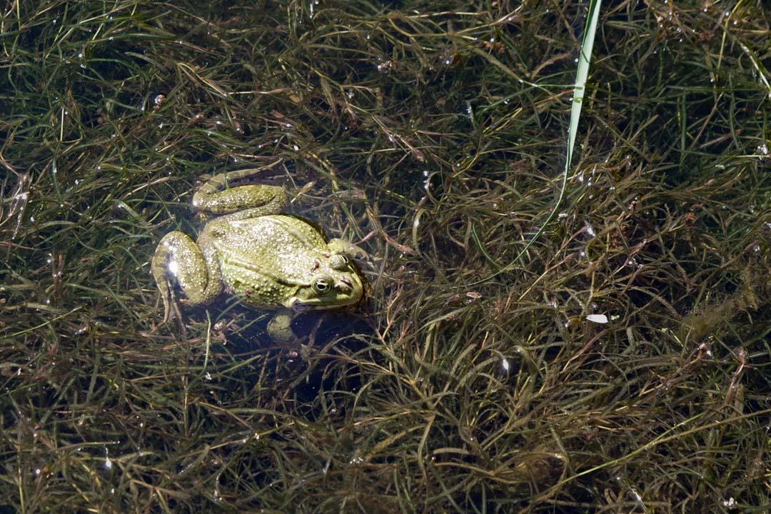 grenouille dans la roseliere de Maincourt