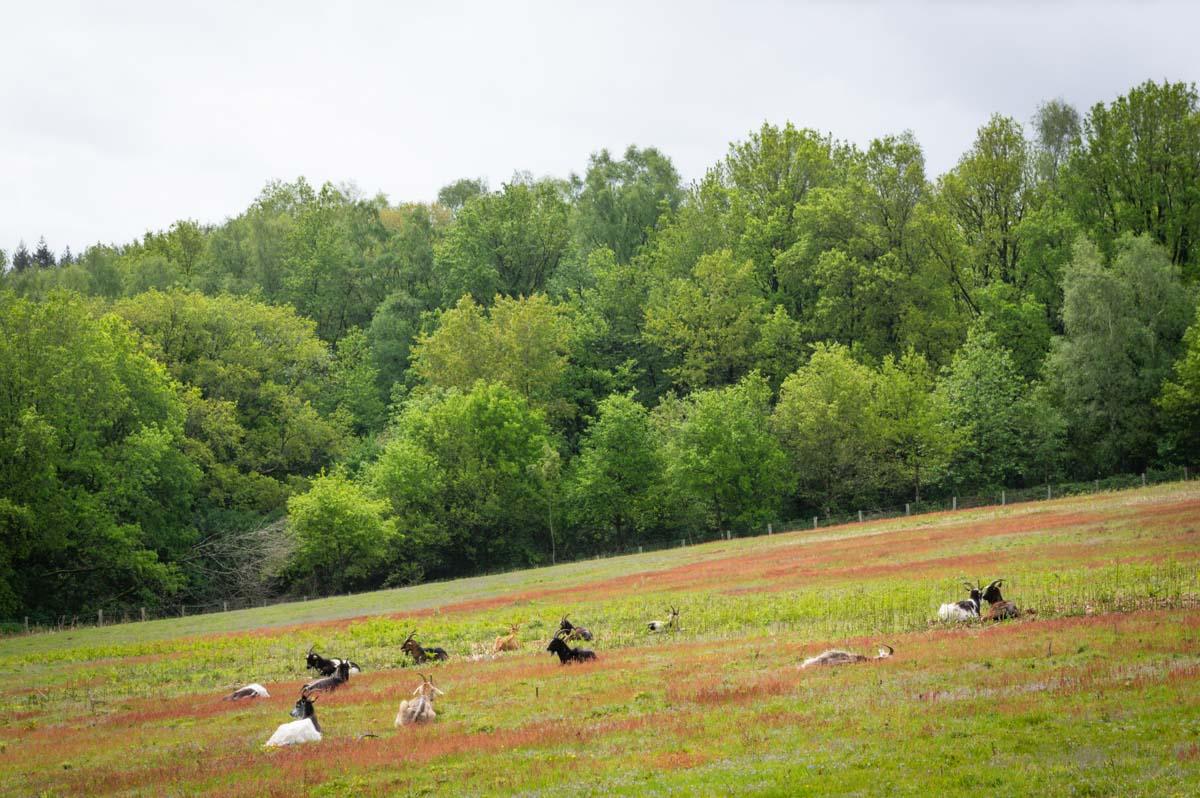Les chevres en écopaturage sur la butte du Montaigu en Mayenne