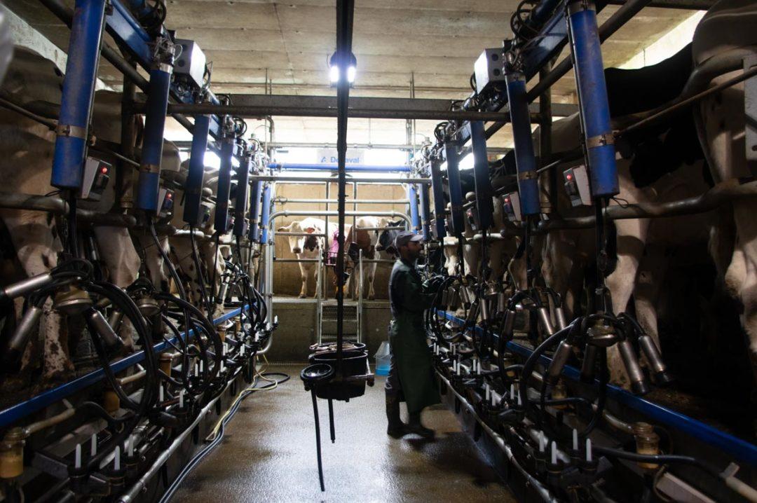 salle de traite des vaches laitieres