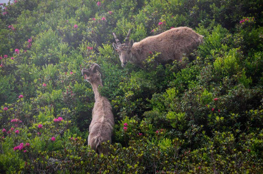 des bouquetins dans des buissons de Rhododendrons