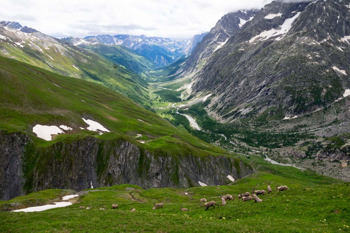 Troupeau de bouquetins sur la montée au Grand Col Ferret