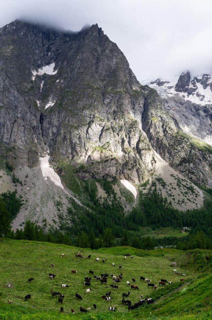 Elevage bovin au pied des Grandes Jorasses - Massif du Mont Blanc