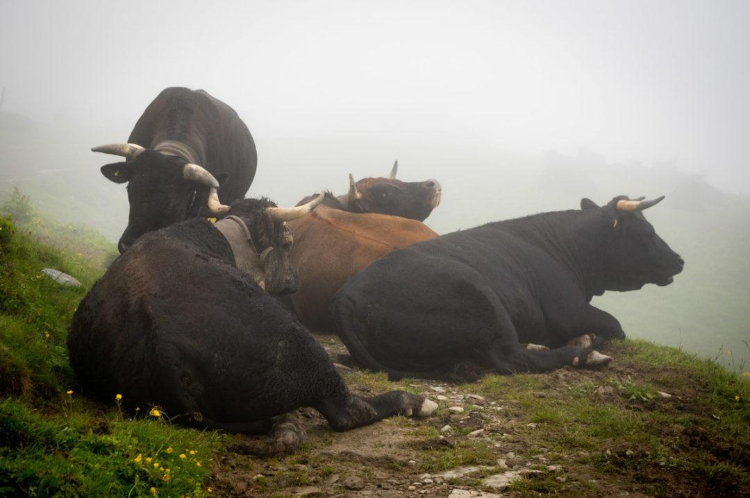 troupeau de vache suisse dans le Brouillard