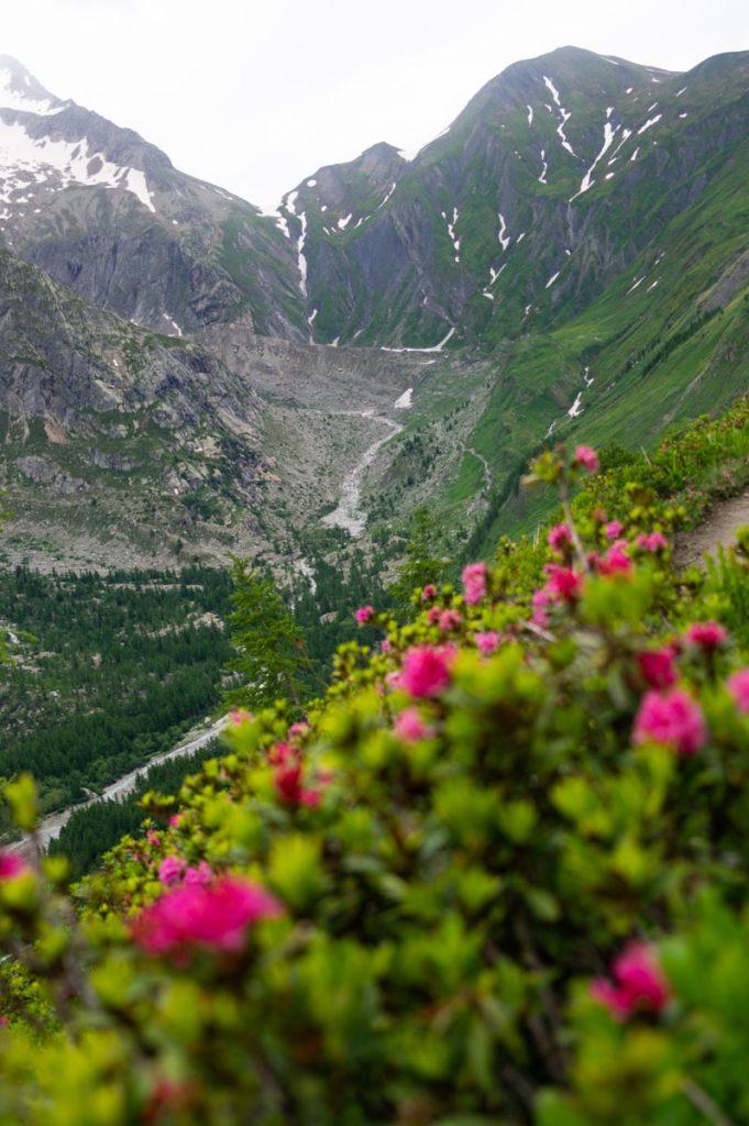 buisson de rhododendrons en fleurs au pied du massif du Mont Blanc