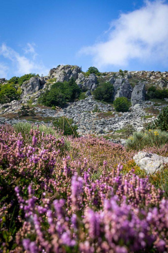 Les Sucs d'Ardèche et la bruyère en fleurs